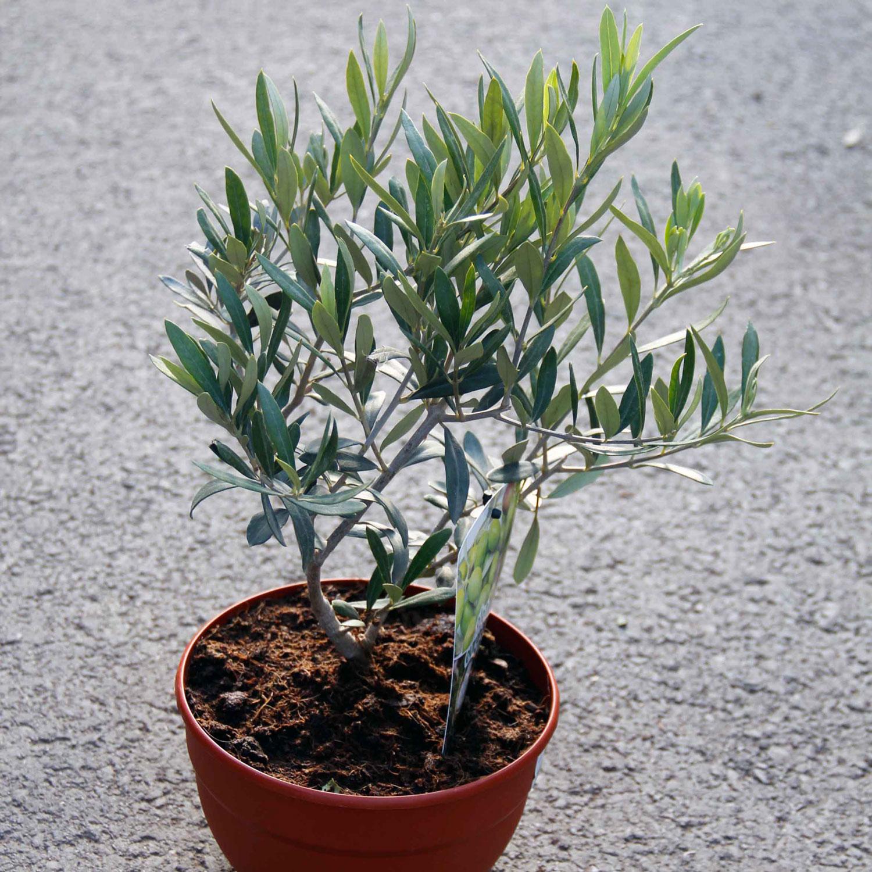 Mittelmeerpflanzen
