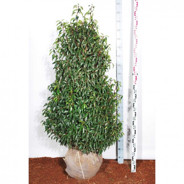 heckenpflanze prunus lus angustifolia port lorbeerkirsche. Black Bedroom Furniture Sets. Home Design Ideas